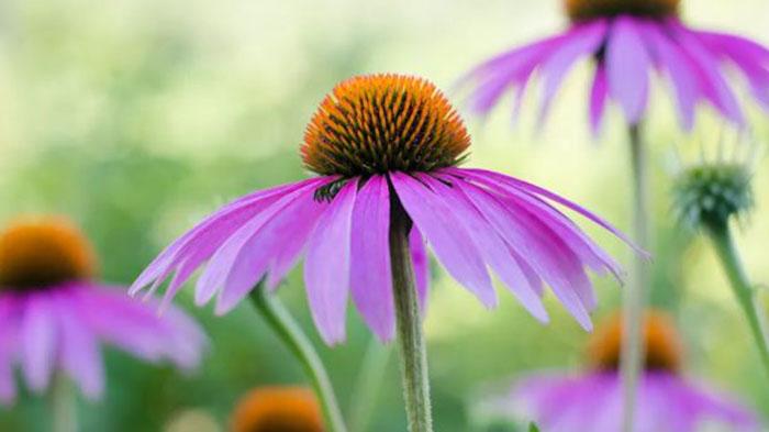 ekinezya çiçeği